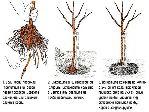 Посадка фундука ( Схема)