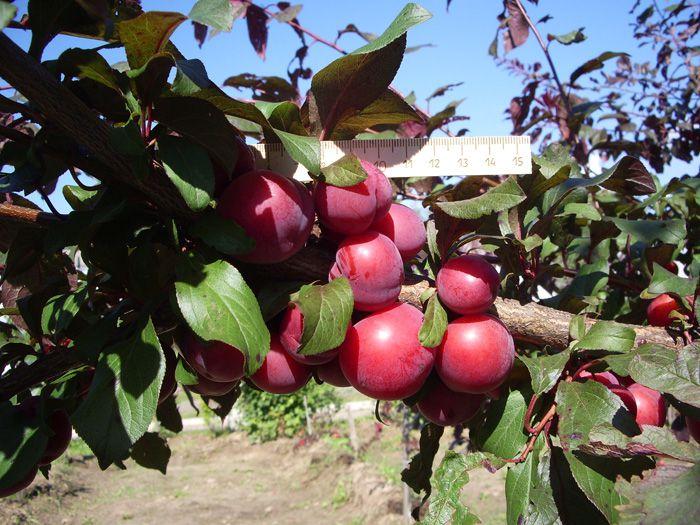 Сорт яблок Алые-паруса