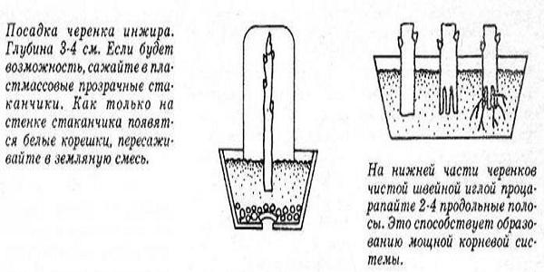Схема посадки черенков инжира