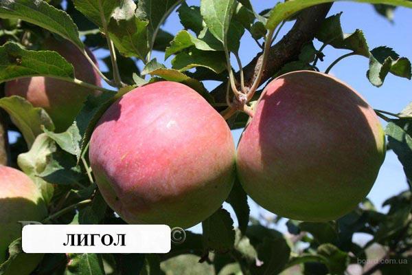 Сорт яблока лигол