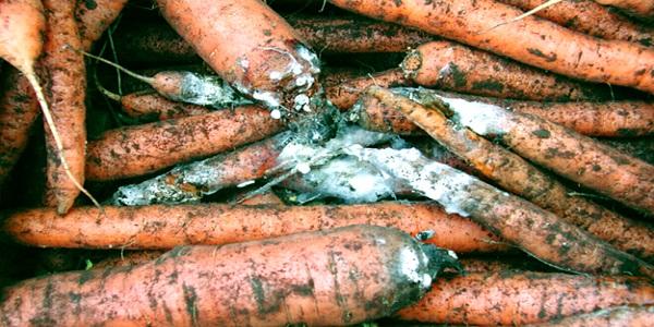 Болезнь моркови белая гниль