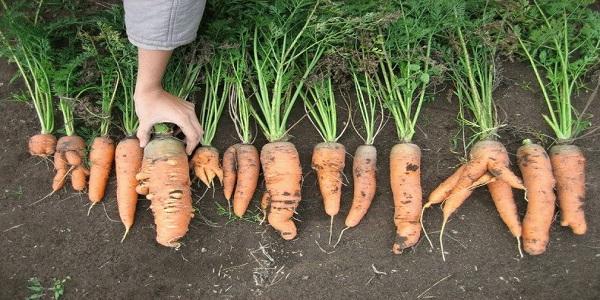 Болезнь моркови бактериоз