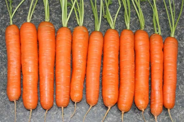 Сорт моркови Берликум – нантская