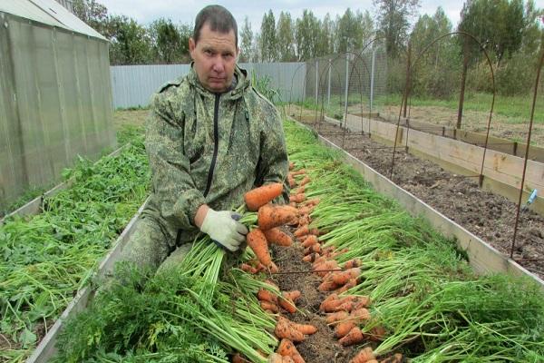 Сорт моркови крепыш