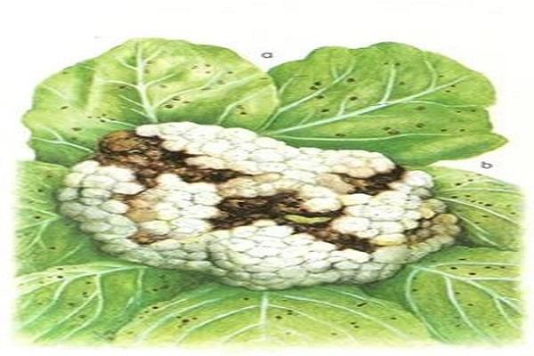 Мозаика капусты