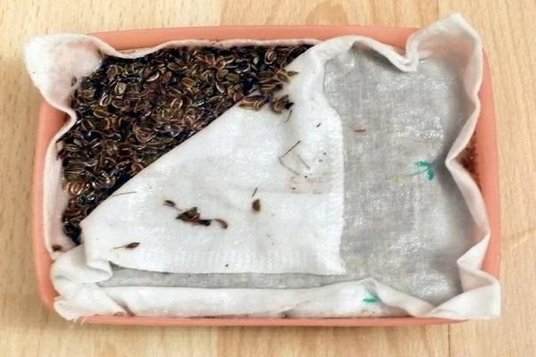 Укроп замачивание семян