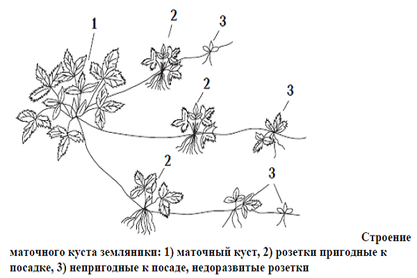 Клубника размножение усиками