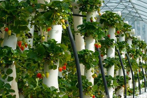 Клубника вертикальное выращивание в ПВХ трубе