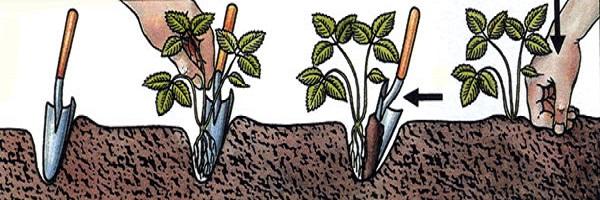 Высадка рассады клубники весной
