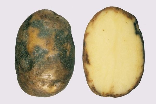 Фитофтора на картофиле