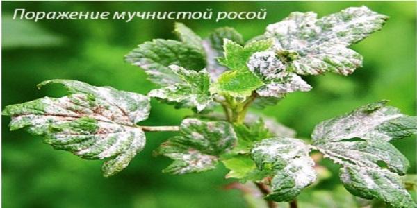 Смородина болезнь мучнистая росса