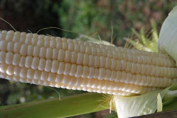 Кукуруза сорт ледяной нектар