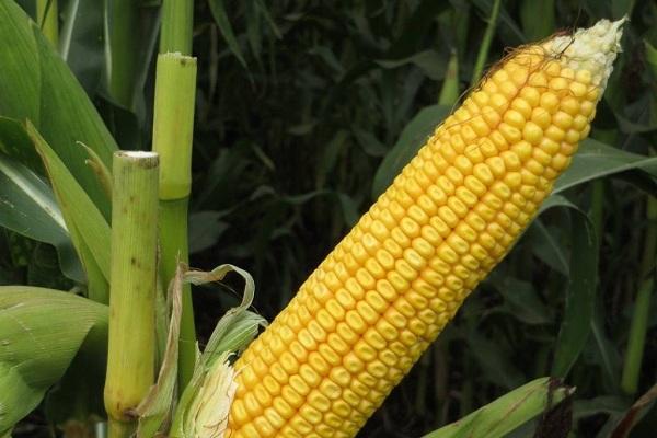 Кукуруза сорта северодакотская