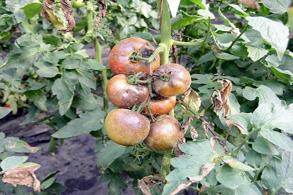 Фитофтороз помидор