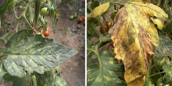 Кладоспориоз помидор