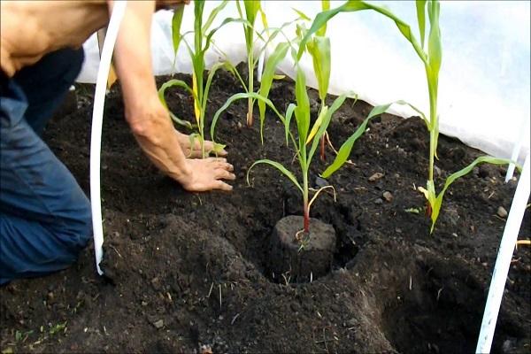 Кукуруза высадка в грунт