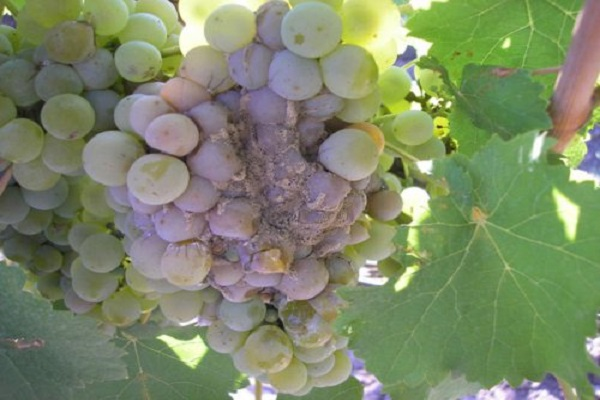 Виноград серая гниль