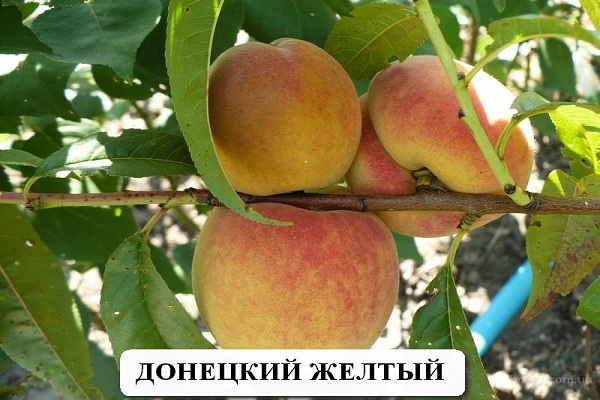 Сорт персика Донецкий