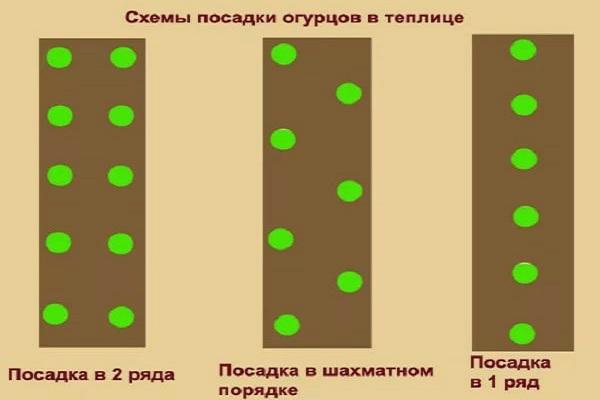 Схема посадки огурцов в теплицу
