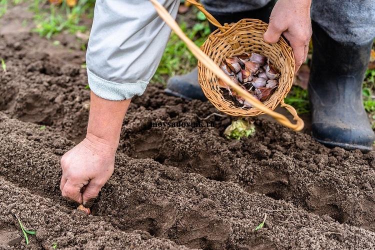 Кларкия изящная выращивание из семян в домашних условиях 13