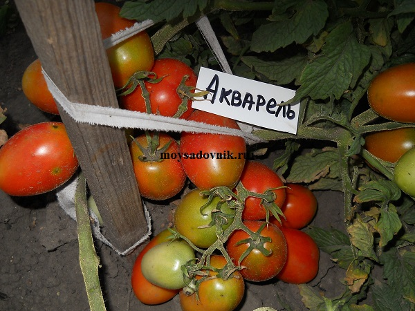 Сорт помидор Акварель