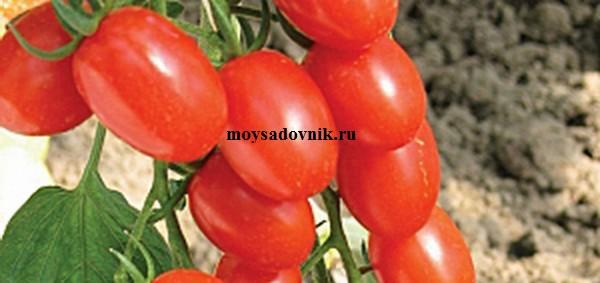 Сорт помидор Анастасия