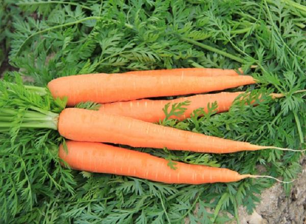 Сорт моркови добрыня