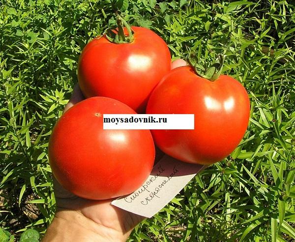 Сорт помидор скороспелка