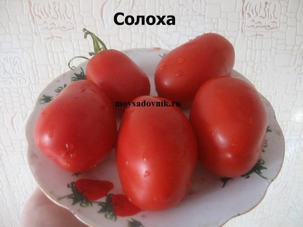 Сорт томатов Солоха