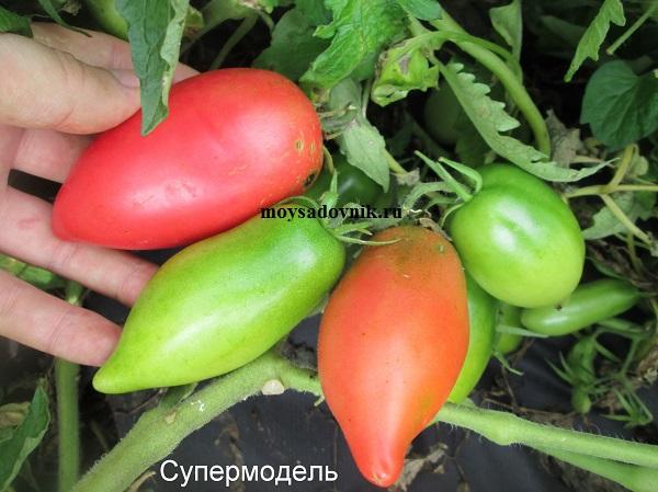 Сорт помидор Супермодель