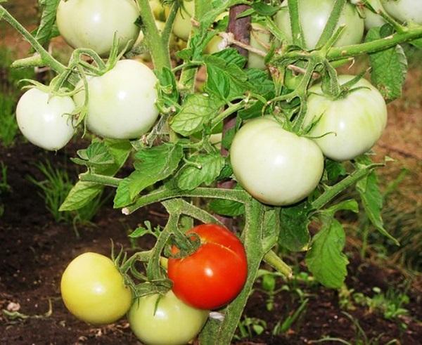 Сорт помидор Снежный Барс