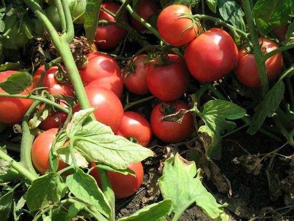 Сорт помидор Тарпан