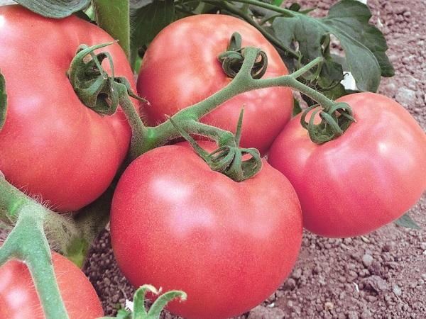 Сорт помидор Волгоградский Розовый