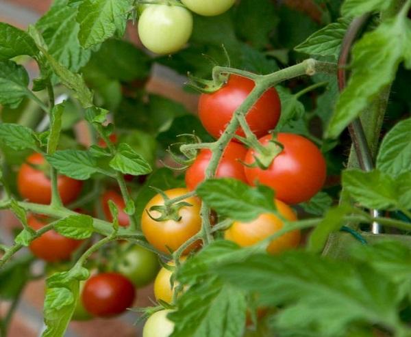 Сорт помидор Бетта