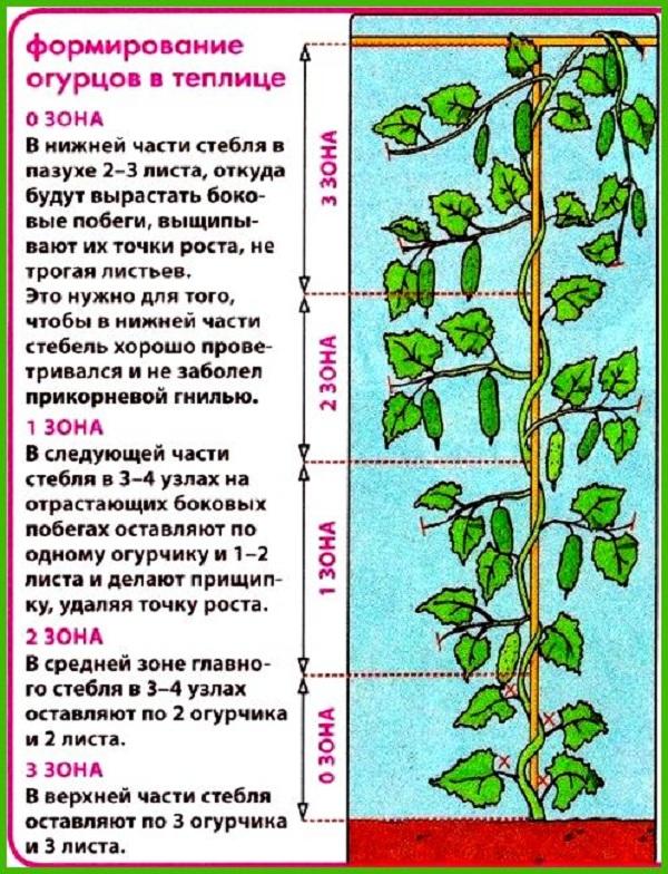 Формирование куста огурцов в теплице