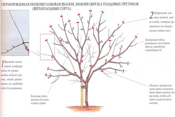 Обрезка фруктовых деревьев осенью схема