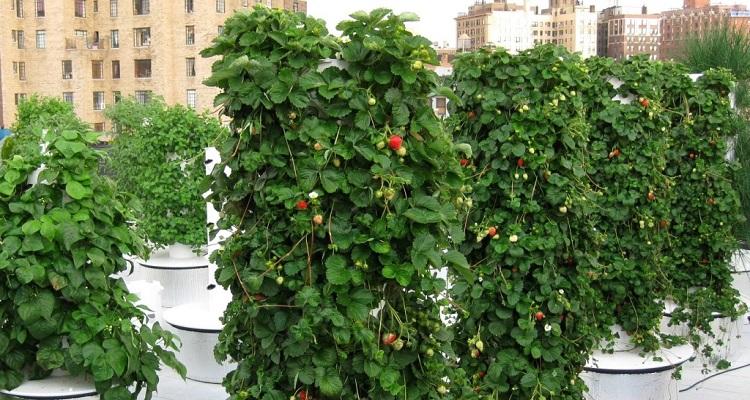 Выращивание и посадка клубники в трубах пвх вертикально и горизонтально