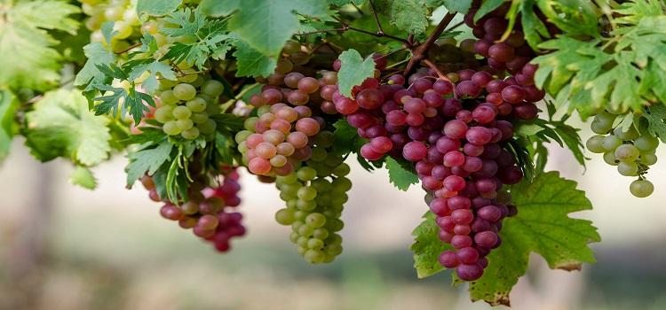 Болезни винограда описание распространенных заболеваний