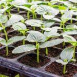 Выращиваем крепкую рассаду огурцов, семена, подкормки и правильный полив