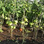 Чем, как и когда подкармливают томаты?
