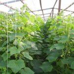 Советы о том, как вырастить огурцы в теплице
